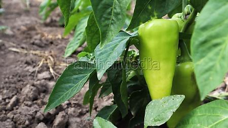 green peppers grow in the garden