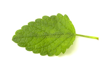mint leaves isolated on white mint