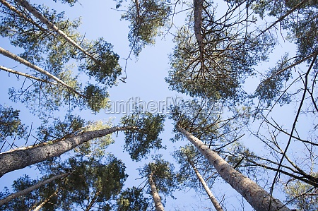 blue sky in a pine forest