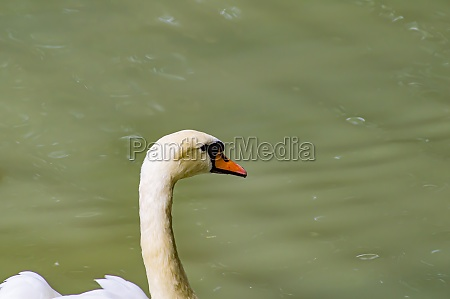 a white swan is floating in