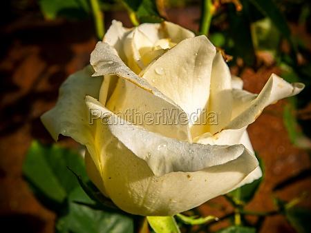 dew drops on the petals of