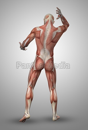 3d male figure with muscle map
