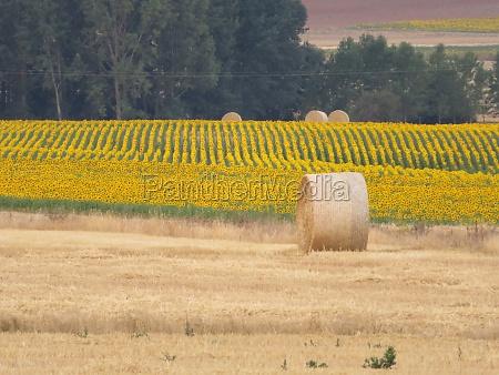 beautiful scenery with yellow sunflowers flowers