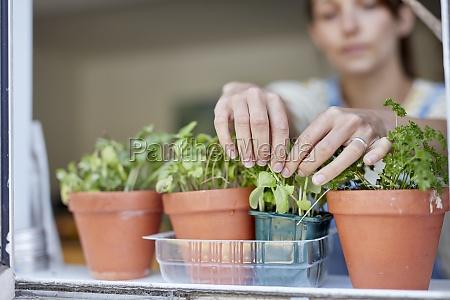 woman picking home grown herbs growing