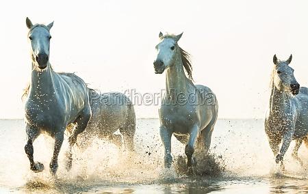 white horses running through water the