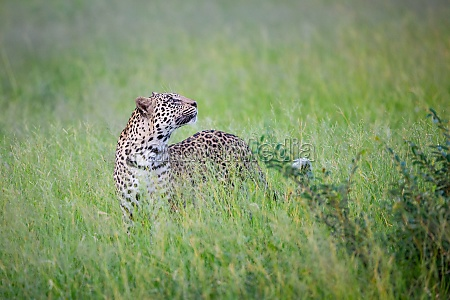 a leopard panthera pardus stands in