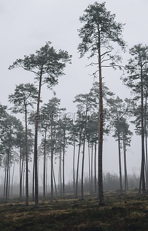 foggy landscape with pine forest