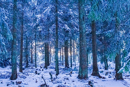 sunset between snowed in icy fir