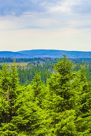 forest with dead fir trees brocken