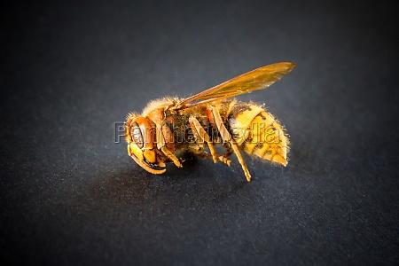 hornet isolated on black background