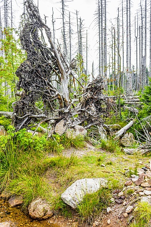 dying silver forest dead uprooted trees