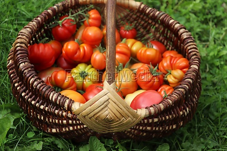 wicker basket full of red tomatoes