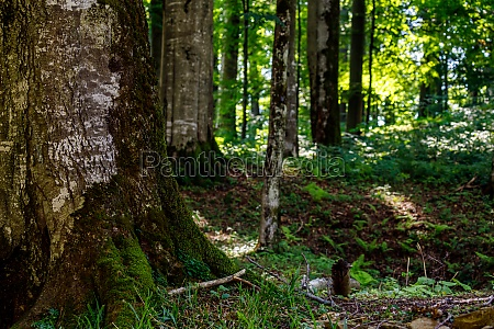 old trees in a forest