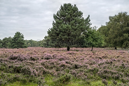 heather and a pine tree at
