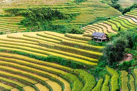 landscape view of rice fields in