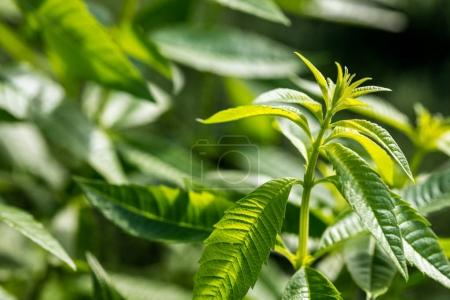 close up, closeup, outdoor, garden, herb, plant - B184929170