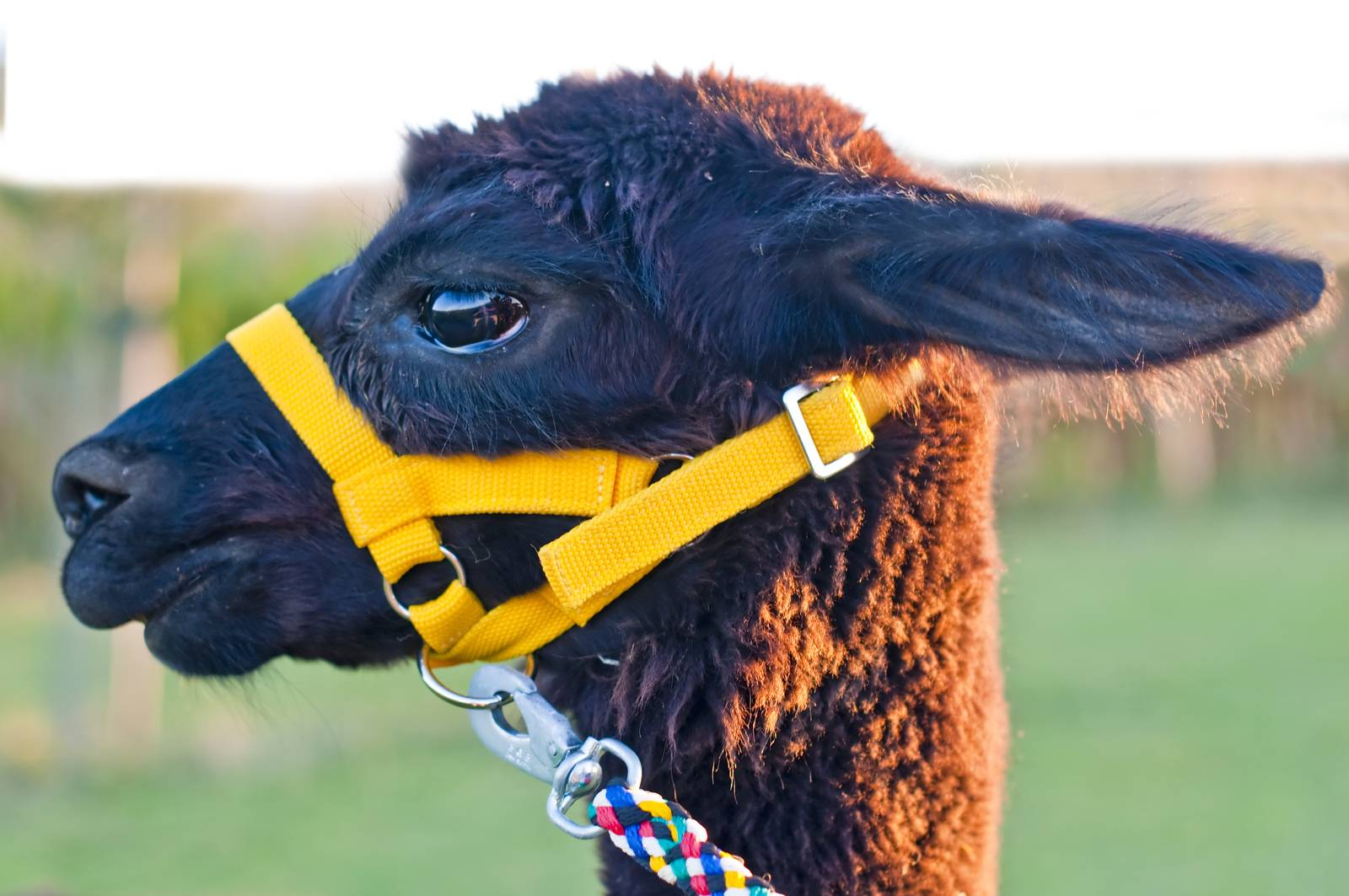 AAT, assisted animal therapy, adorable, alpaca, America, Andes - D34298252