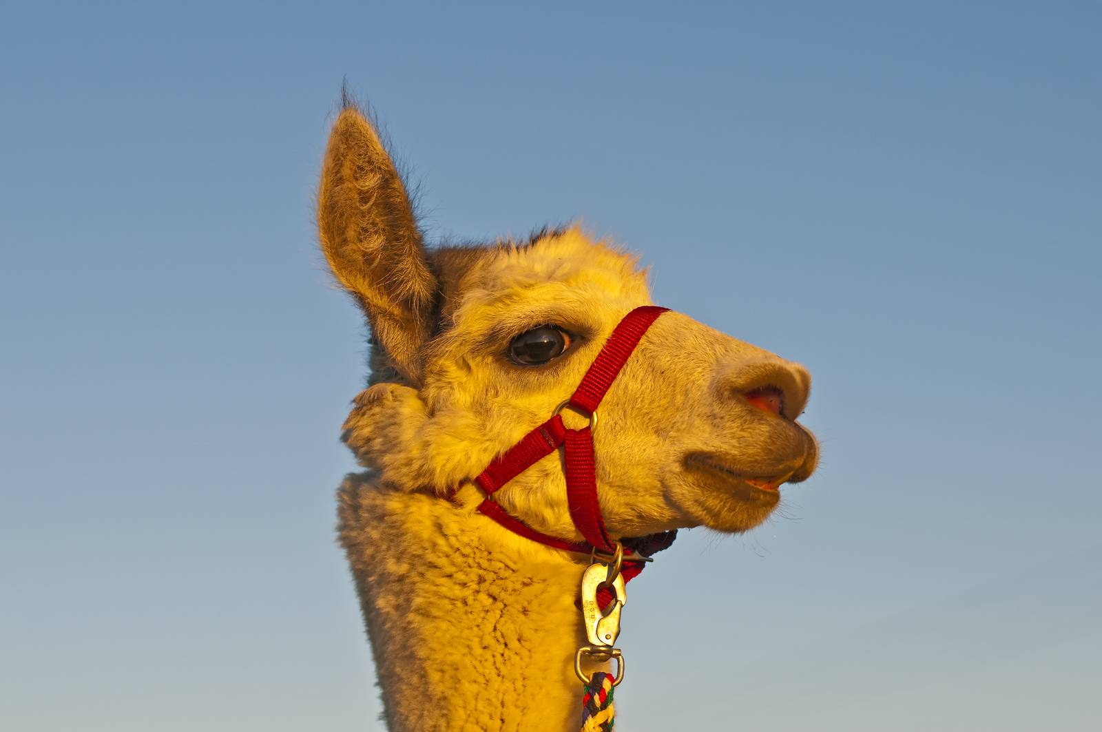 AAT, assisted animal therapy, adorable, alpaca, America, Andes - D34298248