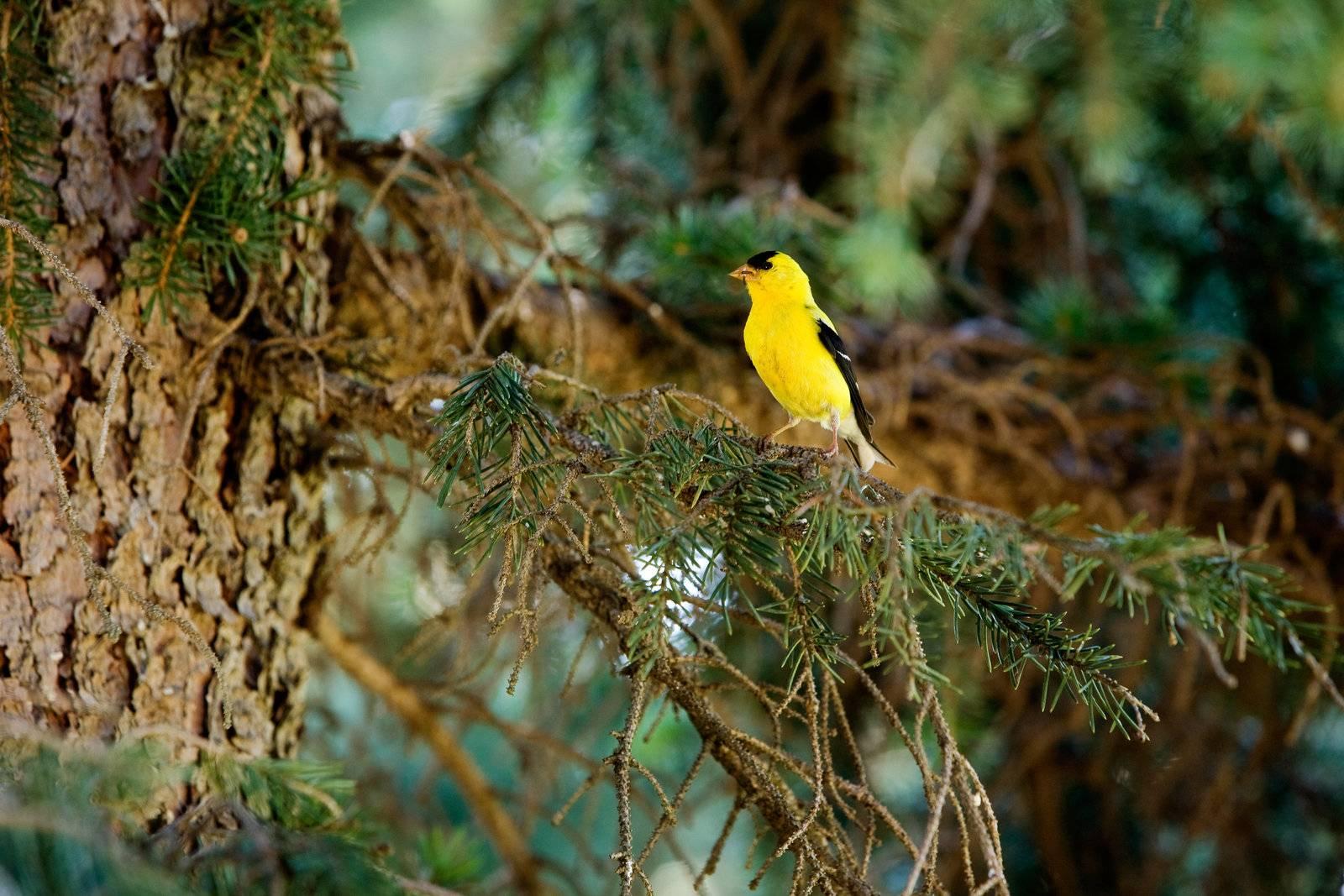 gold, finch, bird, goldfinch, male, wildlife - D560385