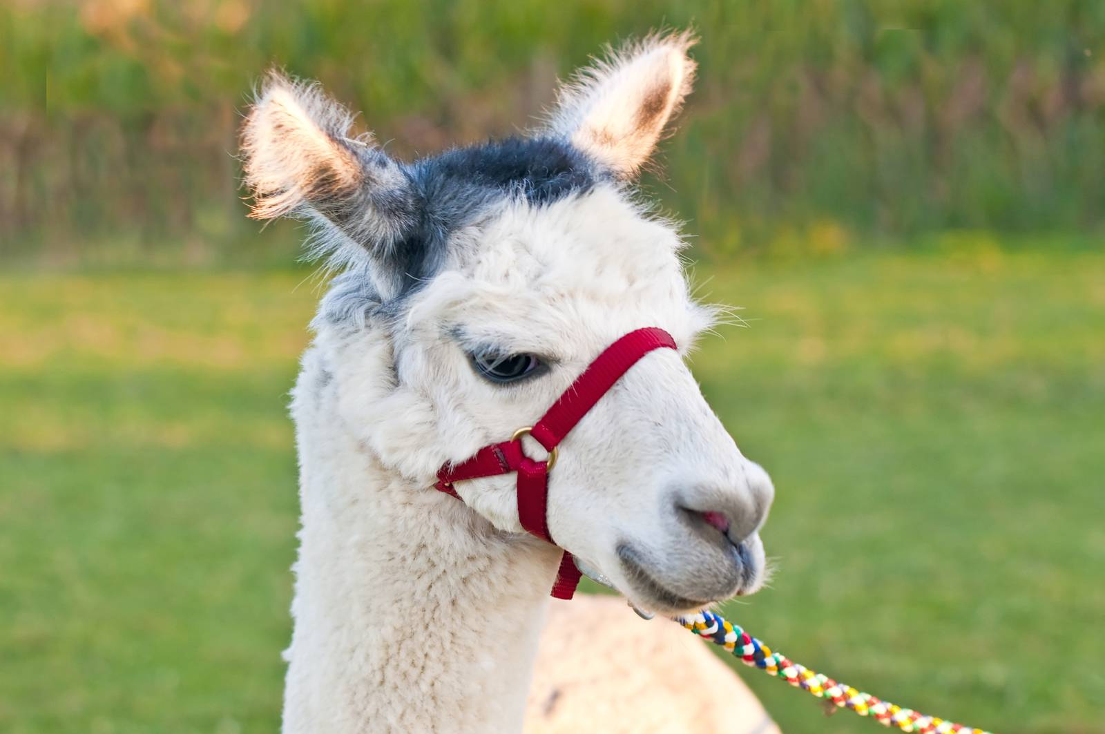 AAT, assisted animal therapy, adorable, alpaca, America, Andes - D34567012